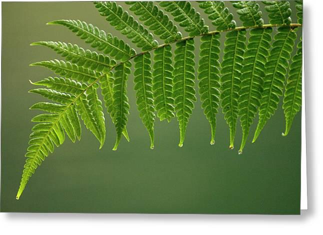 Forest Detail Greeting Cards - Fern Frond With Drip Tips Greeting Card by Pete Oxford
