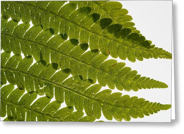 Frond Greeting Cards - Fern Fronds Greeting Card by Steve Gadomski