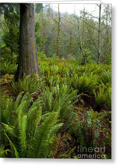 Prospects Greeting Cards - Fern gulley Greeting Card by Graham Foulkes