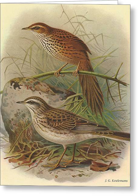 J.g. Greeting Cards - Fernbird and New Zealand Pipit Greeting Card by J G Keulemans
