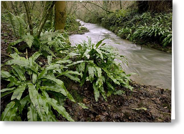 Water Flowing Greeting Cards - Ferns (Asplenium scolopendrium) Greeting Card by Science Photo Library