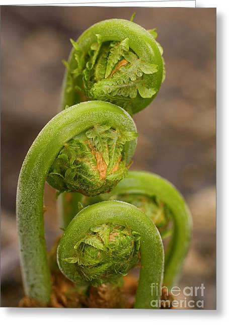 Ostrich Fern Greeting Cards - Ferns Emerging in Spring 2 Greeting Card by SAJE Photography