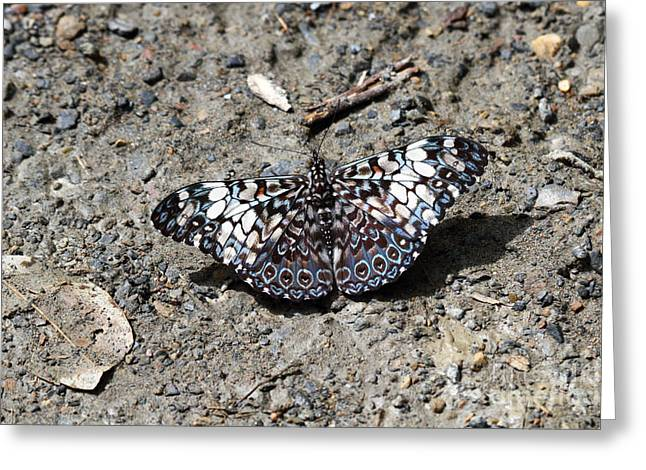 Neotropics Greeting Cards - Feronia Cracker butterfly Greeting Card by James Brunker