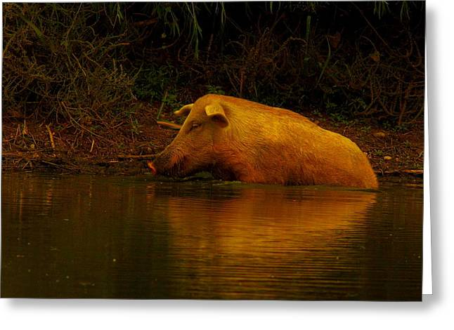 Ferrell Hog At Sunrise Greeting Card by Robert Frederick