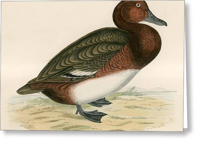 Hunting Bird Greeting Cards - Ferruginous Duck Greeting Card by Beverley R. Morris