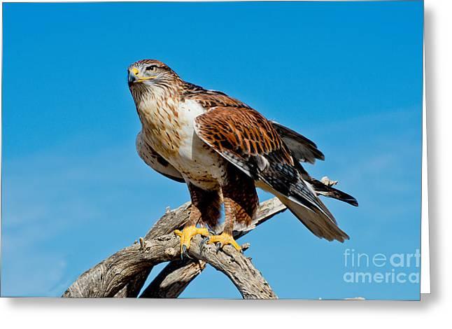 Us Wildllife Greeting Cards - Ferruginous Hawk About To Take Greeting Card by Anthony Mercieca