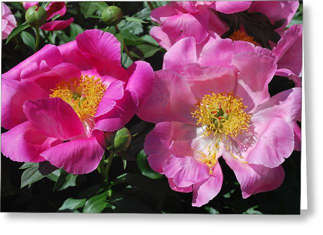 Festival of Pink Greeting Card by Billie Colson