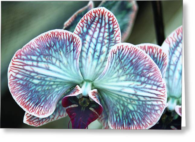 Festive Orchid Greeting Card by William Dey