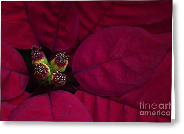 Star Of Bethlehem Greeting Cards - Festive Red Greeting Card by Jacky Parker