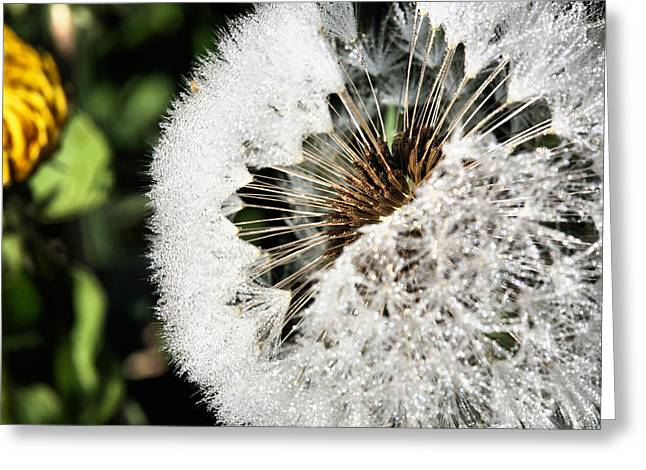 Dandilion Greeting Cards - Fiber Optics  Greeting Card by JC Findley