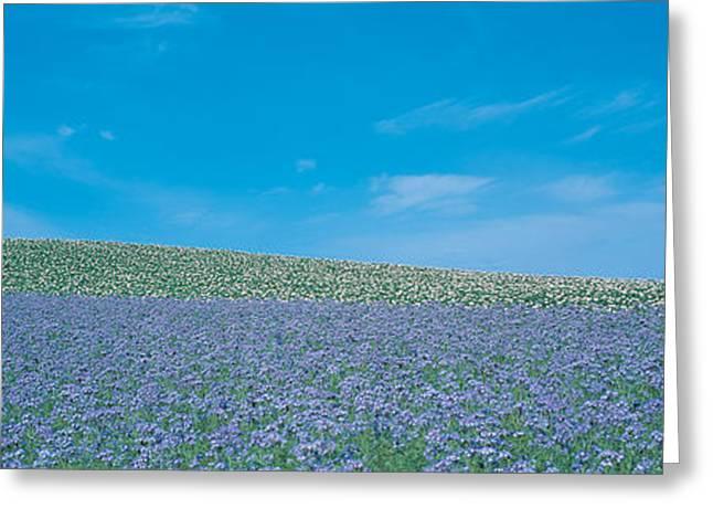 Purple Flower Flower Image Greeting Cards - Field Biei-cho Hokkaido Japan Greeting Card by Panoramic Images