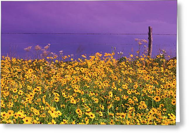Colorful Photography Greeting Cards - Field Coreopsis Flowers, Texas, Usa Greeting Card by Panoramic Images
