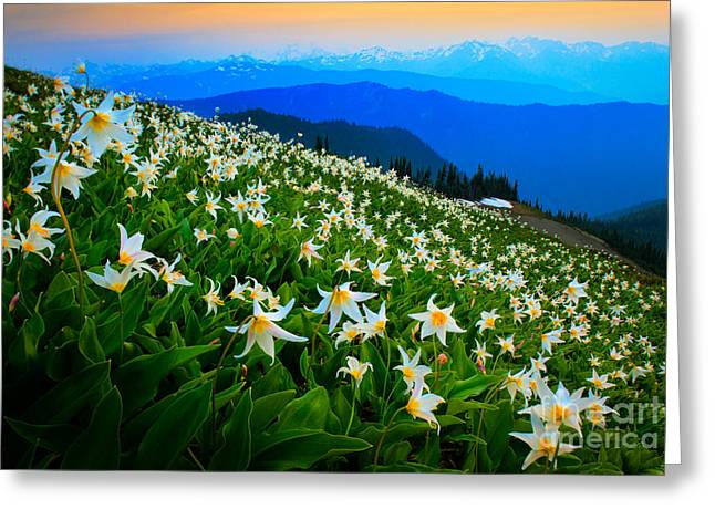 Many Greeting Cards - Field of Avalanche Lilies Greeting Card by Inge Johnsson