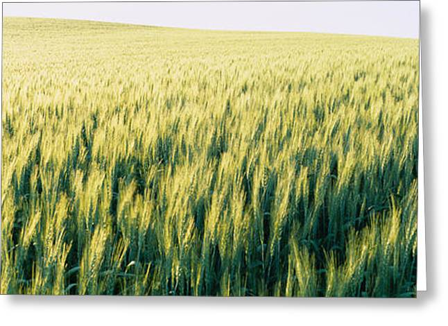 Cultivation Greeting Cards - Field Of Barley, Whitman County Greeting Card by Panoramic Images