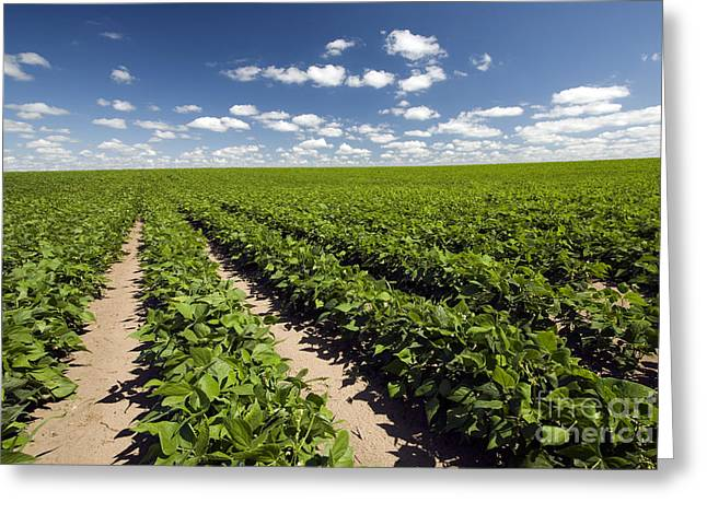 Photo Image Greeting Cards - Field of beans on a sunny day Greeting Card by Photo Image