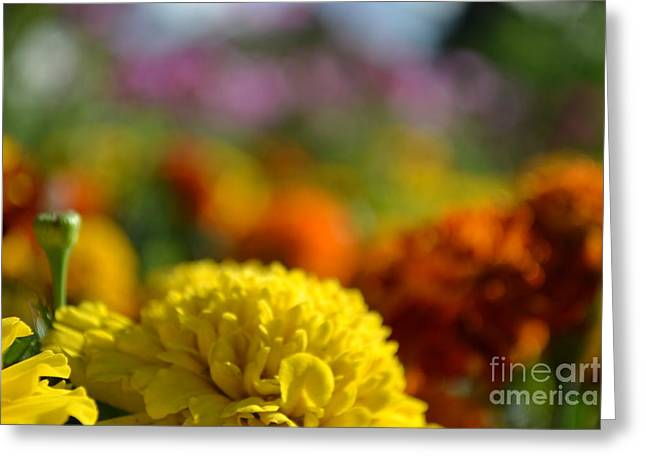 Shower Head Greeting Cards - Field of Carnations Greeting Card by Scott Lyons