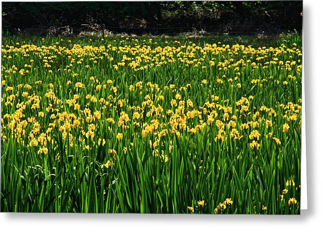 Aidan Moran Photography Greeting Cards - Field Of Daffodils  Greeting Card by Aidan Moran