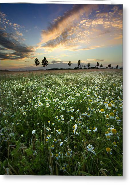 Swiss Photographs Greeting Cards - Field of Daisies Greeting Card by Debra and Dave Vanderlaan