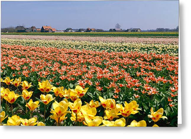 Cultivation Greeting Cards - Field Of Flowers, Egmond, Netherlands Greeting Card by Panoramic Images