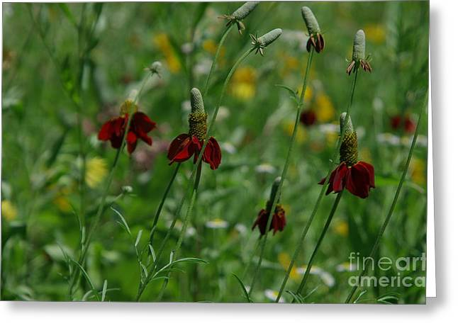 Indiana Flowers Greeting Cards - Field of Flowers Greeting Card by Kitrina Arbuckle
