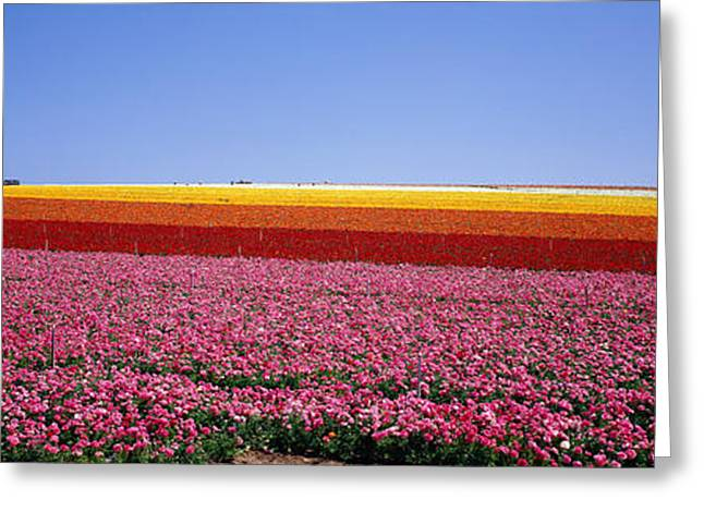 Cultivation Greeting Cards - Field Of Flowers, Near Encinitas Greeting Card by Panoramic Images
