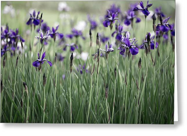 Purples Greeting Cards - Field of Iris Greeting Card by Rebecca Cozart