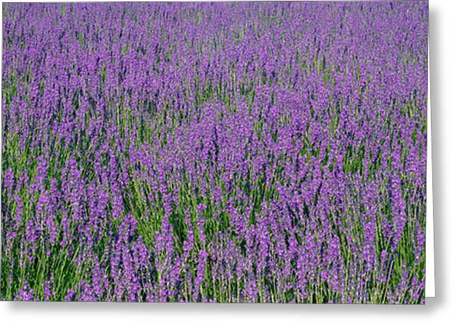 Colorful Photography Greeting Cards - Field Of Lavender, Hokkaido, Japan Greeting Card by Panoramic Images