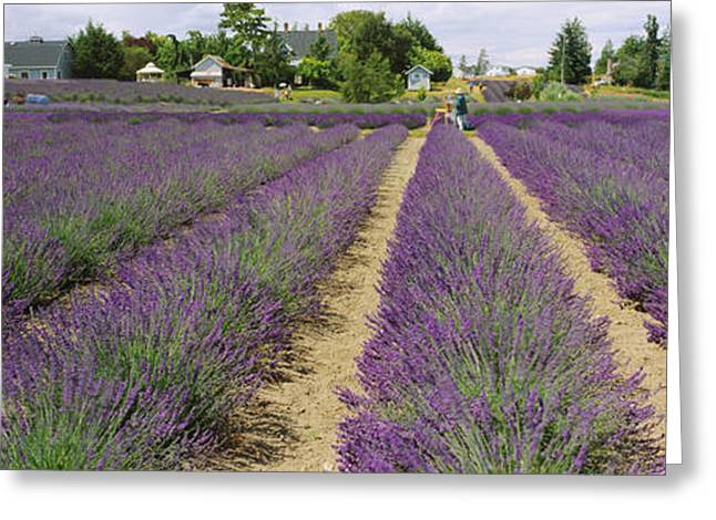 ist Photographs Greeting Cards - Field Of Lavender, Jardin Du Soleil Greeting Card by Panoramic Images