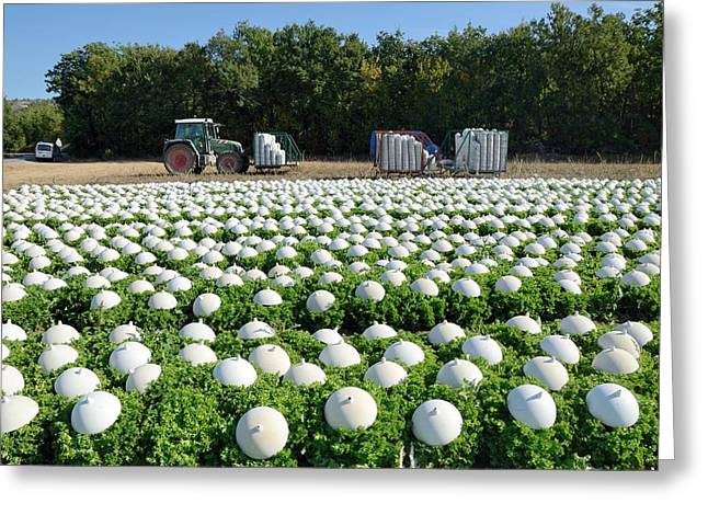 Lettuce Greeting Cards - Field of lettuce, France Greeting Card by Science Photo Library