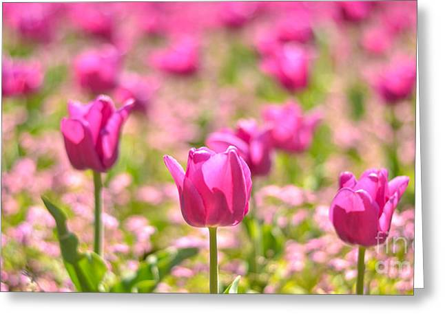 Close Focus Floral Greeting Cards - Field of pink tulips Greeting Card by Aleksandar Mijatovic