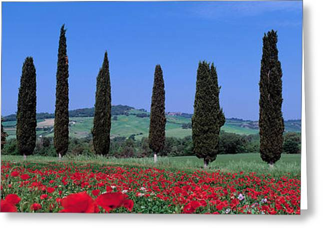 Colorful Photography Greeting Cards - Field Of Poppies And Cypresses In A Greeting Card by Panoramic Images