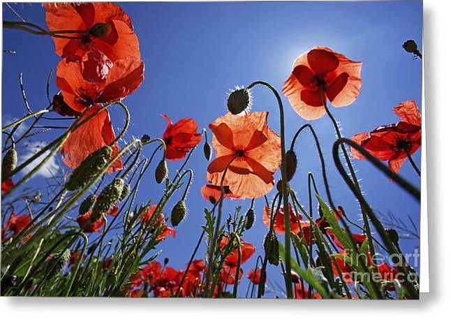 Field of poppies at spring Greeting Card by Sami Sarkis