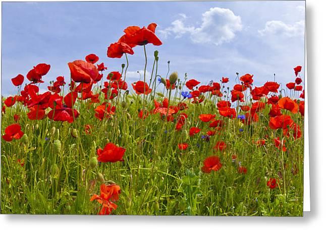 Field Of Red Poppies Greeting Card by Melanie Viola
