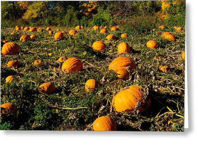 County Landscape Greeting Cards - Field Of Ripe Pumpkins, Kent County Greeting Card by Panoramic Images