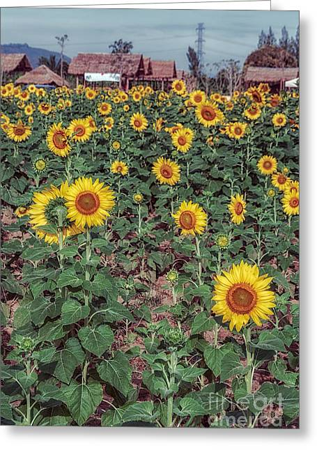 Stamen Digital Greeting Cards - Field of Sunflowers Greeting Card by Adrian Evans