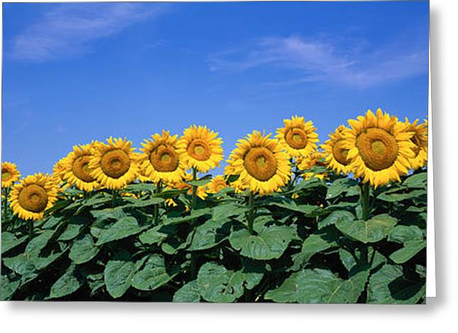 Blooms Greeting Cards - Field Of Sunflowers, Bogue, Kansas, Usa Greeting Card by Panoramic Images