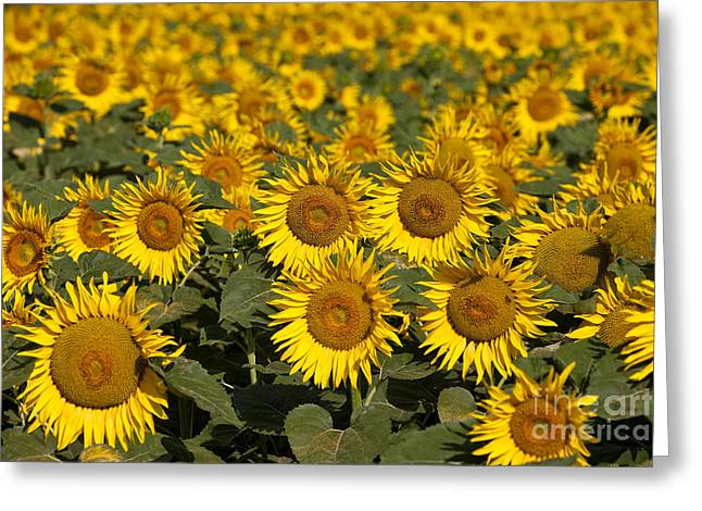 Saint-remy De Provence Greeting Cards - Field of Sunflowers Greeting Card by Brian Jannsen