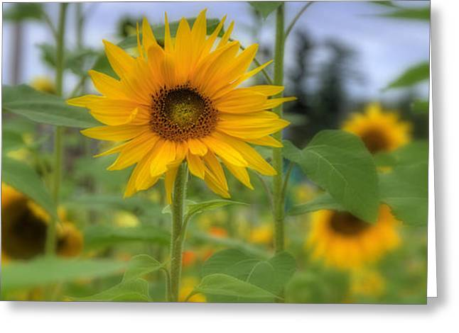Amherst Greeting Cards - Field of Sunflowers Greeting Card by Joann Vitali