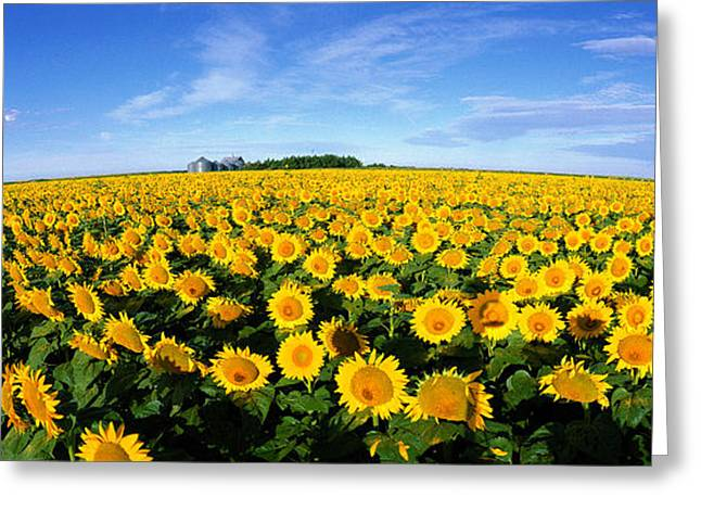 Numerous Greeting Cards - Field Of Sunflowers Kansas Usa Greeting Card by Panoramic Images
