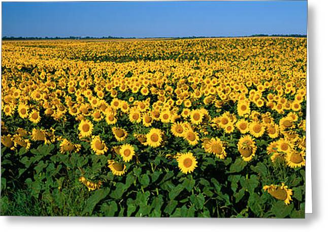 Cultivation Greeting Cards - Field Of Sunflowers Nd Usa Greeting Card by Panoramic Images