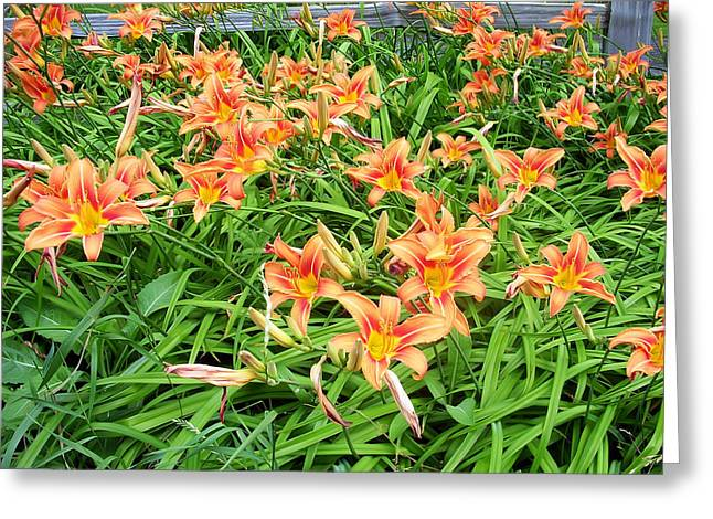 Tiger Greeting Cards - Field of Tiger Lilies Greeting Card by Aimee L Maher Photography and Art