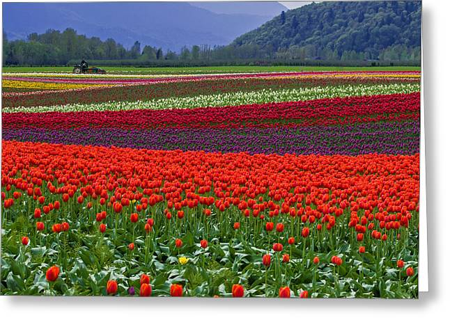 Snow Capped Greeting Cards - Field of Tulips Greeting Card by Jordan Blackstone