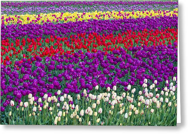 Woodburn Greeting Cards - Field of Tulips Greeting Card by Patricia  Davidson