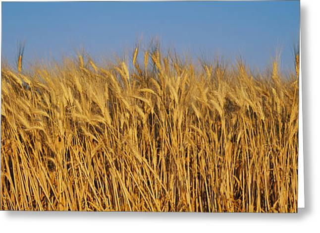 Cultivation Greeting Cards - Field Of Wheat, France Greeting Card by Panoramic Images