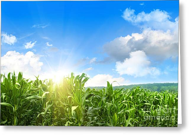 Peasant Greeting Cards - Field of young corn growing against blue sky Greeting Card by Sandra Cunningham