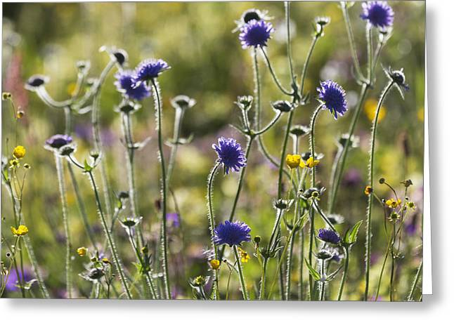 Close Focus Nature Scene Greeting Cards - Field Scabiosa _knautia Arvensis__ Greeting Card by Carl Bruemmer