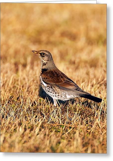 Winter Migrants Greeting Cards - Fieldfare Greeting Card by Paul Scoullar