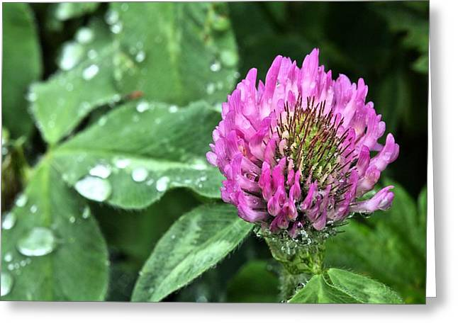 Dewdrops Greeting Cards - Fields of Clover Greeting Card by JC Findley