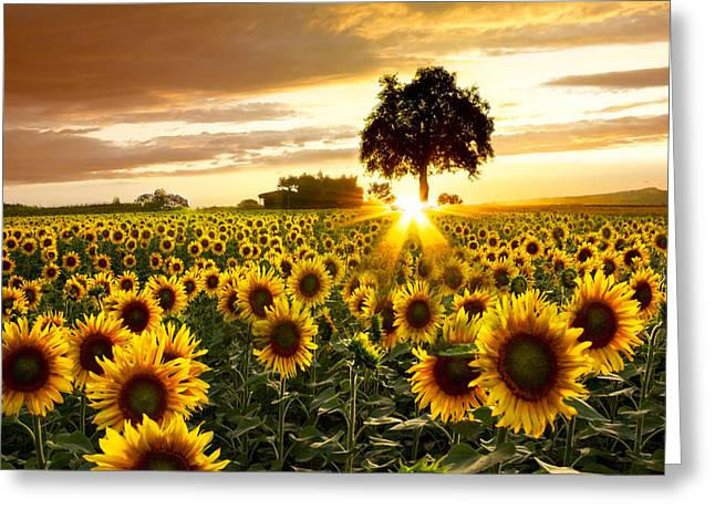 Sunflower Art Greeting Cards - Fields of Gold Greeting Card by Debra and Dave Vanderlaan