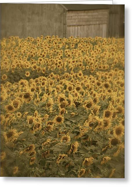 Buttonwood Farm Greeting Cards - Fields of Gold Greeting Card by Dorothy Drobney